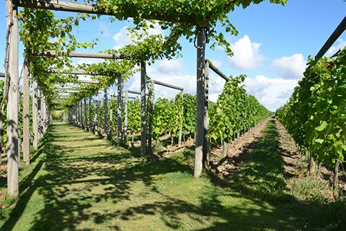 Sommar i vingården Flädie